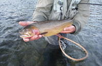 Healthy Yellowstone Cutthroat