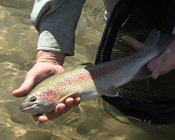 SF Boise River Rainbow fattened on caddis