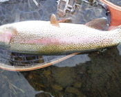 Toad Rainbow from Ranch on Henry's Fork