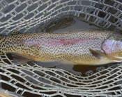 19 inch SF Boise Rainbow