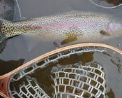 Spectacular South Fork Boise Rainbow