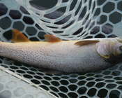 Cutthroat on South Fork Snake River