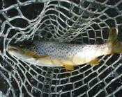 15 Inch Brown Trout